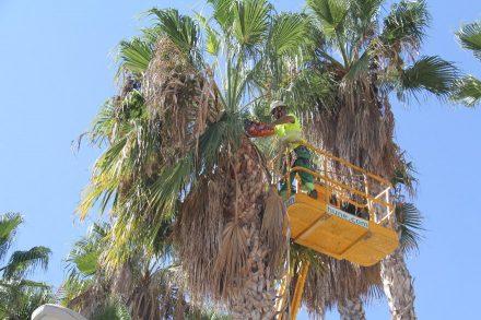 trabajo-limpieza-palmeras-con-maquinaria-especial-altura-16-440x293